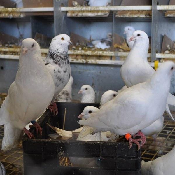 pigeonneau.jpg