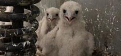 Bonne nouvelle : Des faucons pèlerins à Frasnes !