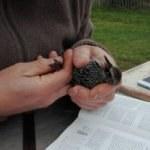 Baguage des oiseaux sur le site des bassins à Frasnes